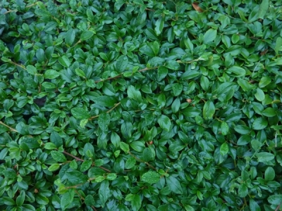 Cotoneaster microphyllus Streib\'s Findling