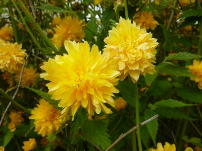 Kerria japonica Flore Pleno