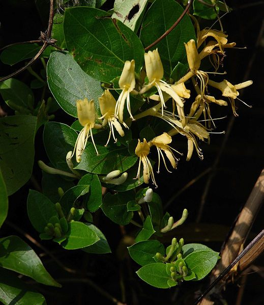 Lonicera japonica Hall\'s Prolific