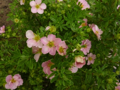 Potentilla fruticosa New Dawn