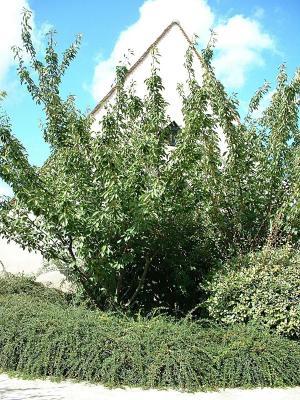 Prunus serrulata \