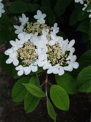 Viburnum plicatum Mariesi