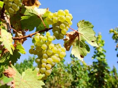 Vigne taille et entretien - Entretien de la vigne ...