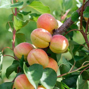 Abricotier Pr�coce de Saumur