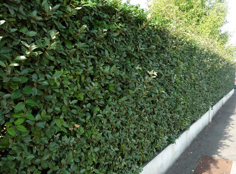 Kit haie persistante elaeagnus x ebbingei sur le Mur Végétal