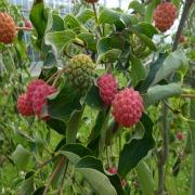 A baies et fruits décoratifs