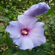 A floraison estivale